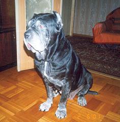 Мастино Неаполитано по имени Маня прожила у нас 10 лет